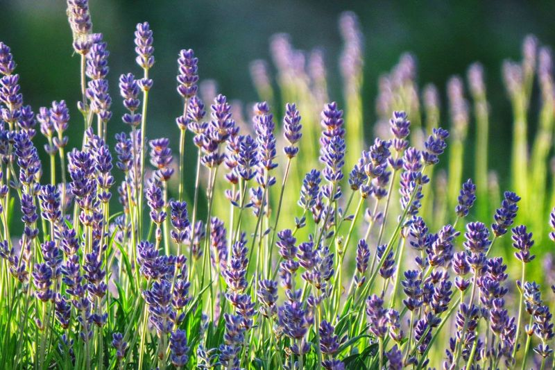 Growth Plant Flowering Plant Flower Beauty In Nature Purple Vulnerability  Lavender Botany Outdoors Focus On Foreground Lavender Colored Field Freshness Nature Close-up