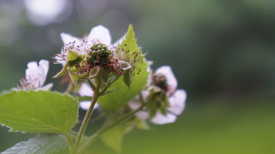 Satin Blackberry Fruit Beauty In Nature Close-up Day Edible  Flower Flower Head Flowering Plant Focus On Foreground Fragility Freshness Fruit Growth Inflorescence Leaf Nature No People Outdoors Petal Plant Plant Part Selective Focus Springtime Vulnerability