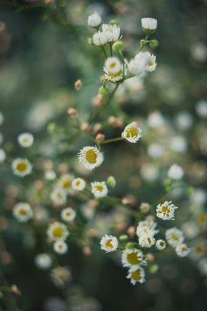 Flowers Camomiles Summertime Sammer 2015 Nature
