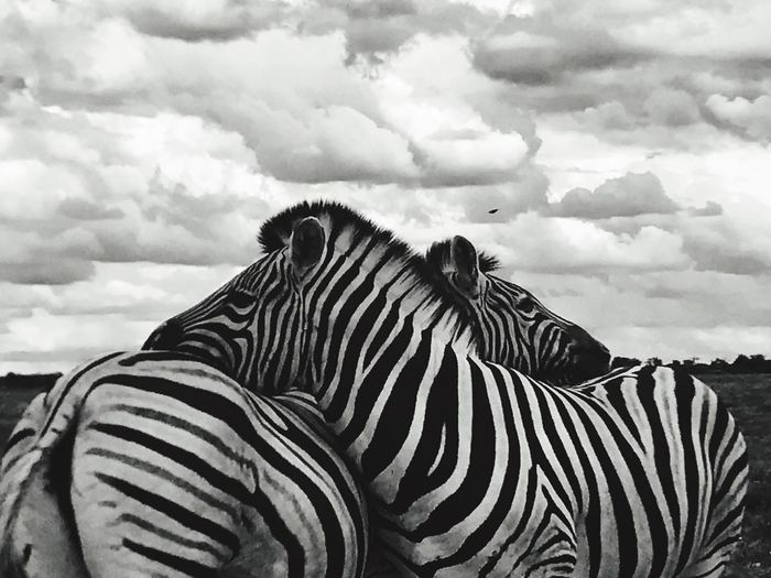 Striped Sky Cloud - Sky Animals In The Wild One Animal Zebra Animal Themes Cloud Nature Day No People Outdoors Safari Animals Animal Markings Mammal Landscape Beauty In Nature Animal Skin Close-up EyeEmNewHere Art Is Everywhere The Great Outdoors - 2017 EyeEm Awards The Photojournalist - 2017 EyeEm Awards Pet Portraits An Eye For Travel