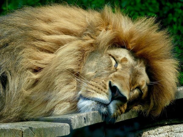 Animals In The Wild Animal Themes One Animal Wildlife Lion Relaxation Mammal Day No People Lion - Feline Close-up Lioness Outdoors Animal Photography Sleeping Animalportrait