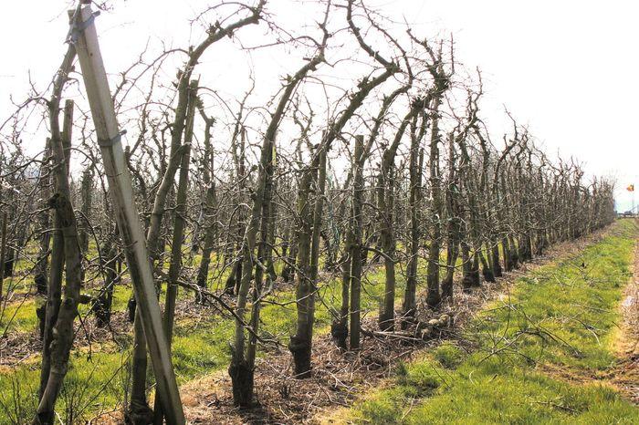 Q queue of trees Trees Apple Tree Nature Photography Nature Landscape_photography Landscape Landscapes Lanaken