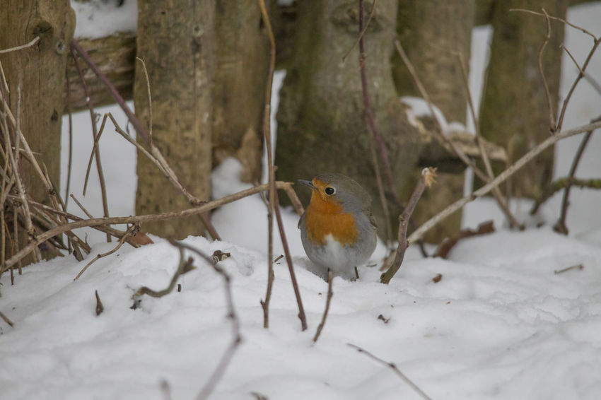 male robin in courtship plumage sits in the snow Animal Themes Animals In The Wild Beauty In Nature Bird Close-up Cold Temperature Day Field Nature No People One Animal Outdoors Perching Robin Snow Winter