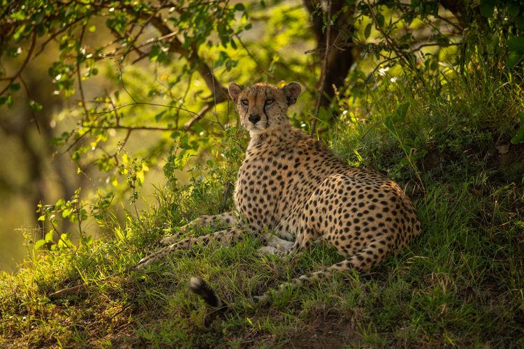 Cheetah lying on grassy bank under tree