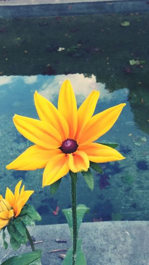 Flower Yellow Nature Beauty In Nature Blooming Outdoors Plant Water Flower Collection Flowers,Plants & Garden Flower Photography Flowerlovers Flower_Collection Summer 2016 Nature Tranquility