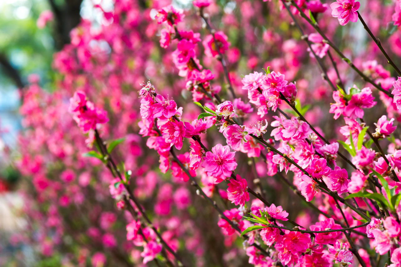 flower, pink color, fragility, growth, beauty in nature, nature, no people, close-up, blossom, freshness, selective focus, day, petal, springtime, branch, outdoors, tree, blooming, flower head