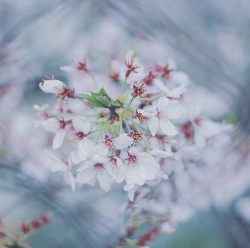 cherry blossom Flower Nature Beauty In Nature Close-up Blossom Pink Color No People Springtime Selective Focus Beauty Growth Day Beautiful 写真 写真好きな人と繋がりたい Photography ファインダー越しの私の世界 Coregraphy Nature Pleaselike Pleasefollow Pleasecomment Outdoors Uncultivated