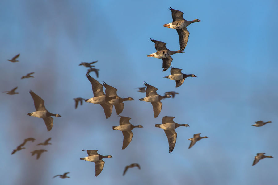 "Canadian geese in the Braakman sanctuary. (Nikon D810 ƒ/9.0 500mm 1/320"" iso 100) Animal Animals In The Wild Birds Blue Sky Canadian Geese Flock Of Birds Flying Mid-air Nature No People Spread Wings Springtime Wildlife Www.benjaminvanderspek.com Zoology Blue Wave"