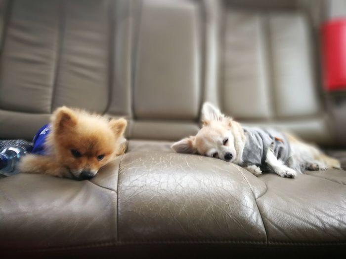 Chihuahua and