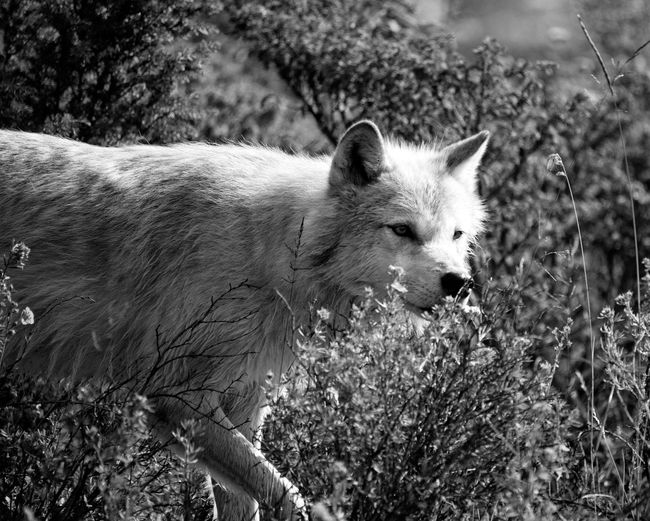 Nature Photography Animal Themes Animal Wildlife Animals In The Wild Close-up Day Mammal Nature No People One Animal Outdoors Wolf Wolf In Nature Wolf Photography