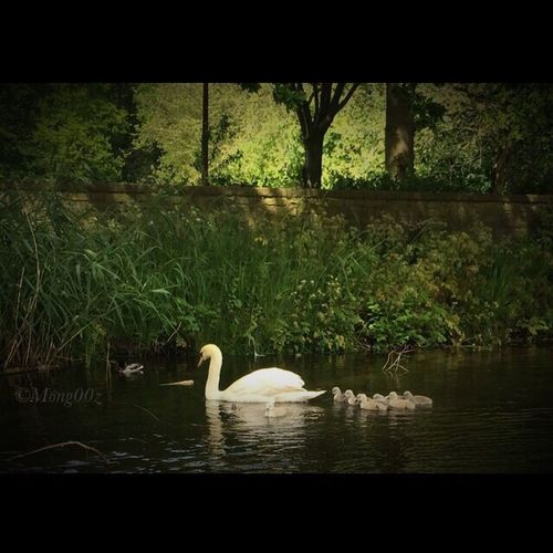 Nature Collection Cygnets Swan Urban Wildlife