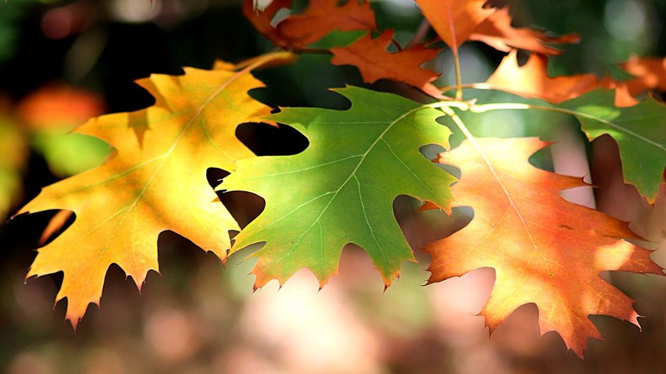 Oak Leaves Leaf Plant Part Autumn Change Close-up Leaves Nature Natural Pattern Sunlight Outdoors Green Color Leaf Vein Beauty In Nature No People