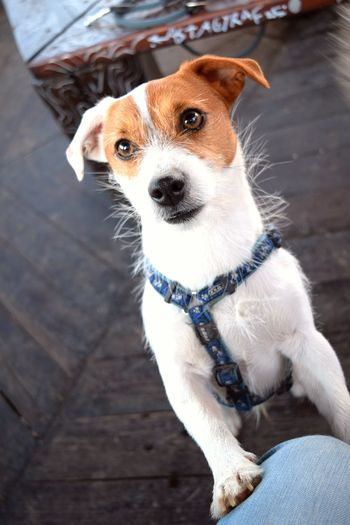 From My Point Of View Close-up Bokeh Domestic Animals Jackrussellterrier Animal Themes Looking At Camera From My Point Of View Looking At Camera Portrait Spring 2017 March 2017 Herrenkrugpark Dogslife Dogs Of EyeEm Dog Of The Day Dogs Of Spring Dogwalk Animal Nose