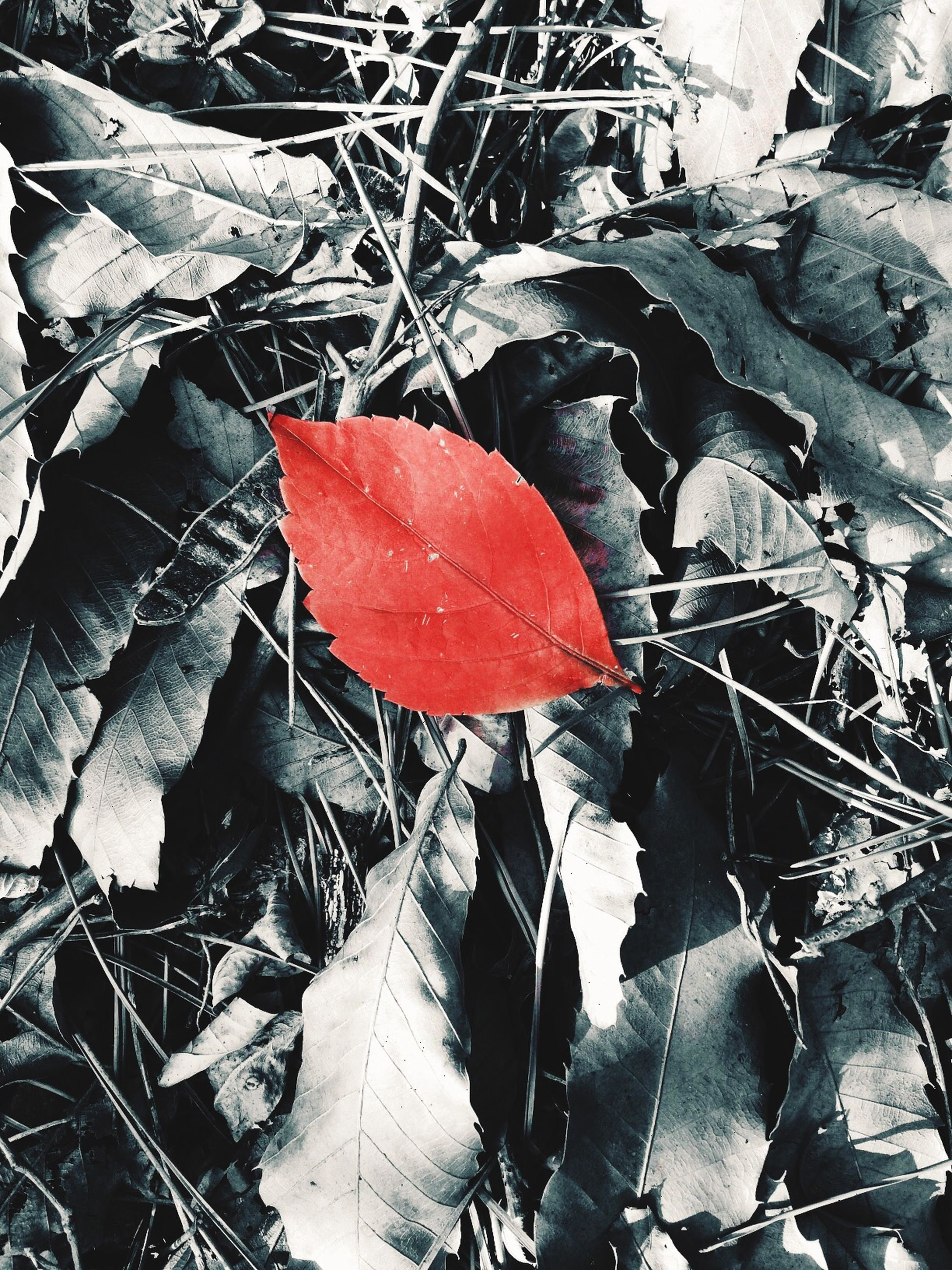 leaf, autumn, change, season, red, dry, leaves, close-up, maple leaf, nature, high angle view, weather, leaf vein, fallen, water, wet, plant, day, outdoors, fragility