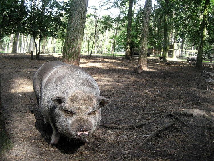 Animal Themes Day Field Mammal Nature No People One Animal Outdoors Pig Schwein Tree Tree Trunk Wild Boar Wildschwein