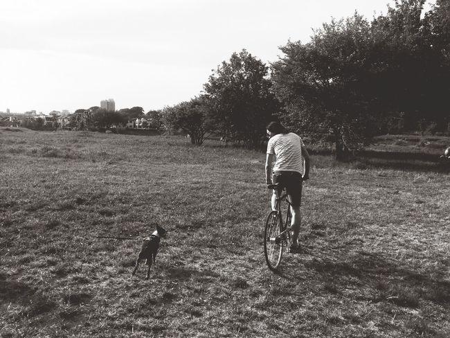 一平とナナちゃん Bostonterrier ボストンテリア Boston Terrier