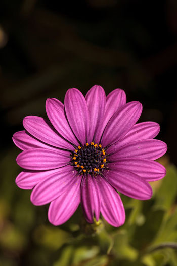 Macro of African daisy Osteospermum ecklonis blooms in purple, pink and white with yellow pollen in a botanical garden. African Daisy Beauty In Nature Close-up Daisy Day Flower Flower Head Fragility Freshness Garden Nature No People Osteospermum Ecklonis Outdoors Petal Pollen Purple Purple Flower Wild Flower