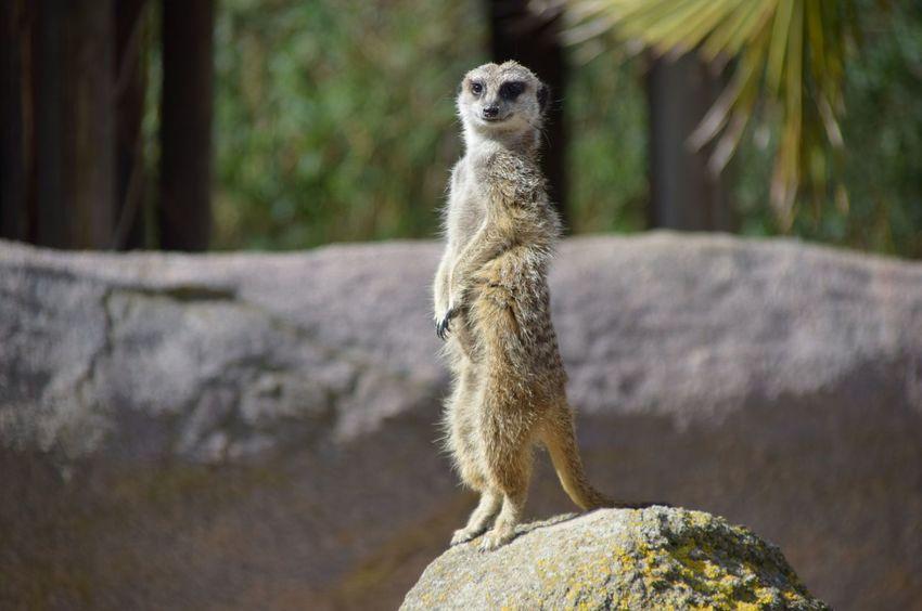Meerkat Standing Guard Watching Blijdorp Rotterdam Zoo