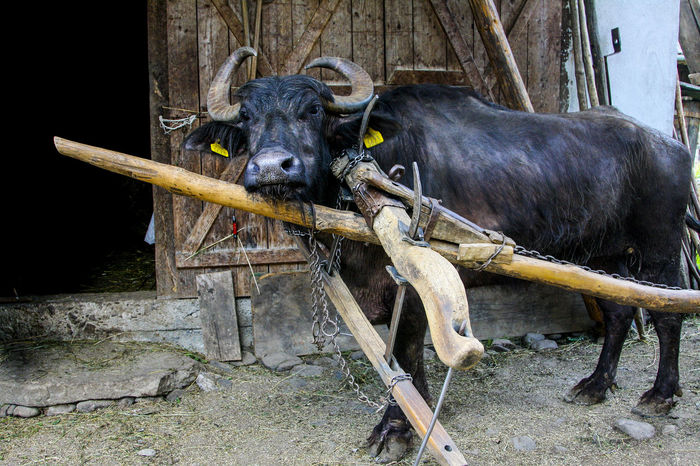 Animal Themes Day Domestic Animals Mammal One Animal Outdoors Oxen Shaft Yoke