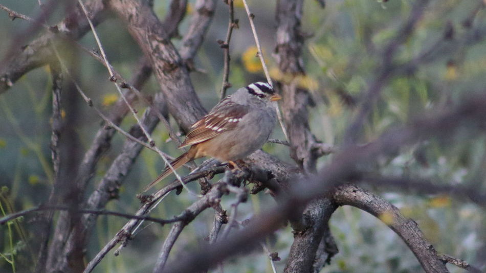 White-crowned sparrow in a mesquite tree. Animal Themes Animals In The Wild Bird Branch Close-up Day EyeEm Nature Lover Focus On Foreground Forest Full Length Low Angle View Nature No People One Animal Outdoors Perching Selective Focus Tree Vertebrate White-crowned Sparrow Wildlife Zoology