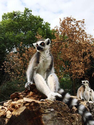 #photomoment #zoo #zoo #lemur First Eyeem Photo EyeEmNewHere