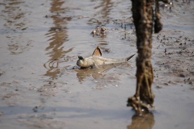 Close-Up Of Mudskipper In Muddy Water