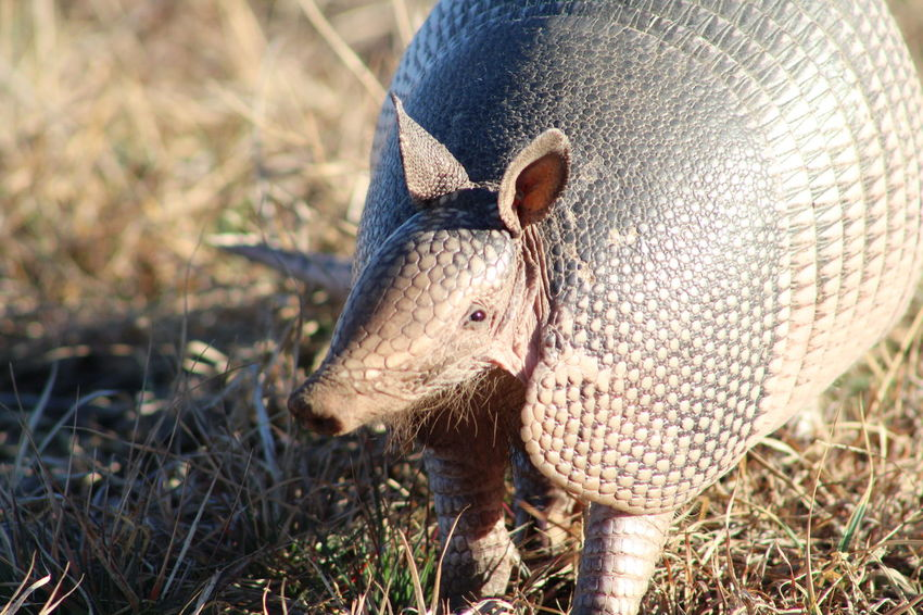 Armadillo One Animal Animal Themes Pig No People Mammal Outdoors Day Animal Wildlife Close-up Domestic Animals Grass Nature