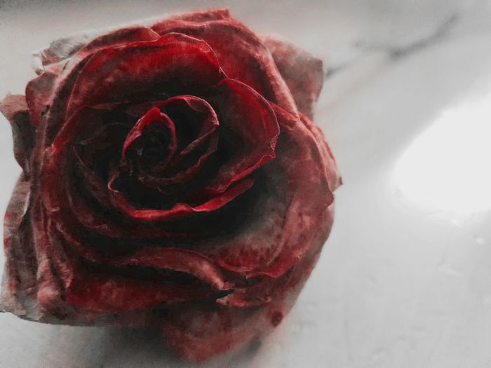 Dying Rose Old Rose Rose On Table Flower Photography White Background Flowers Red Rose Contrasting Colors Eyeem Collection