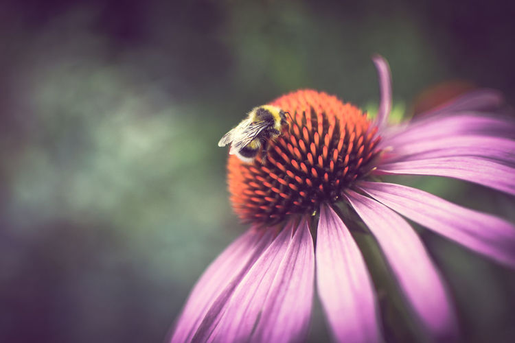 Close-up of honey bee pollinating on purple cone flower