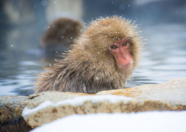 Snow monkey in a hot spring, Nagano, Japan. Animal Themes Animal Wildlife Animals In The Wild Close-up Cold Temperature Day Hot Spring Japanese Macaque Lake Mammal Monkey Nature No People One Animal Outdoors Snow Water Weather Winter