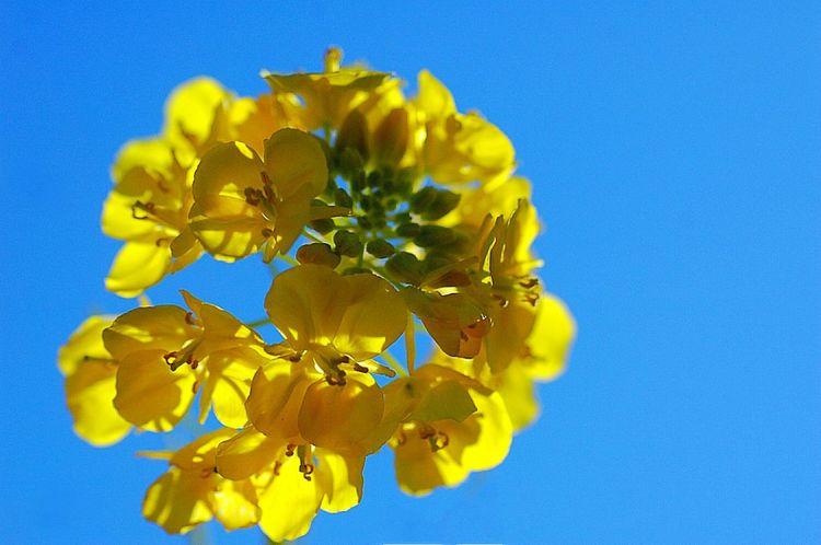 Showcase: February 菜の花 Yellow Flower Flower Collection EyeEm Flower Colorful Colors Fleshyplants Flowers EyeEm Nature Lover Macro Blue Blue Sky Petal Yellow