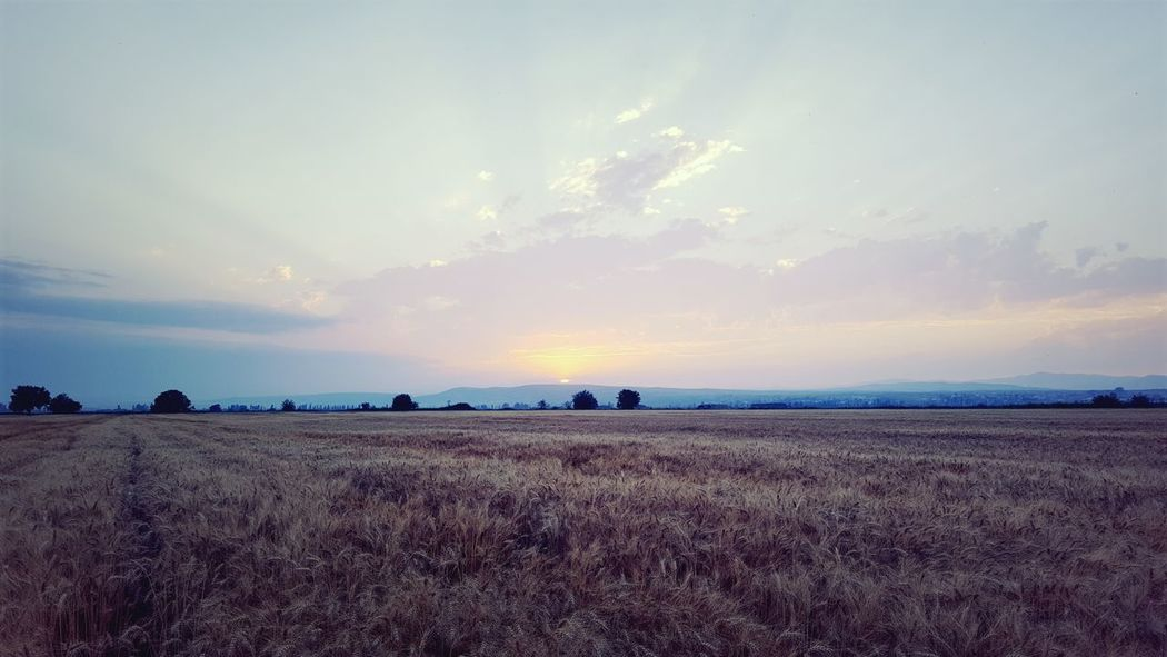 Cereal Cereal Plant Do Not Smoke  Panorama Panoramic Photography Plantation Sunset Wheat Wheat Field