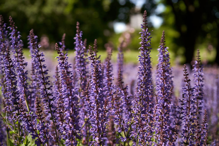 Close-up of flowering purple russian sage in a city park