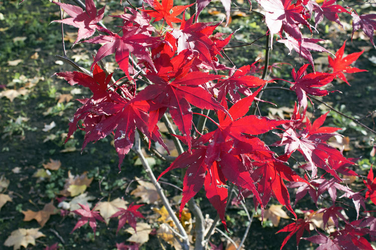 Plant Part Leaf Red Beauty In Nature Plant Autumn Close-up Maple Leaf Nature Focus On Foreground Maple Tree Day No People Outdoors Natural Condition Fall Leaves Red Park Wood Contrast Tree