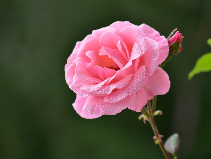 Flower Flowering Plant Vulnerability  Fragility Petal Freshness Flower Head Beauty In Nature Plant Inflorescence Close-up Pink Color Growth Water Rosé Drop Rose - Flower No People Nature Outdoors Springtime Dew RainDrop