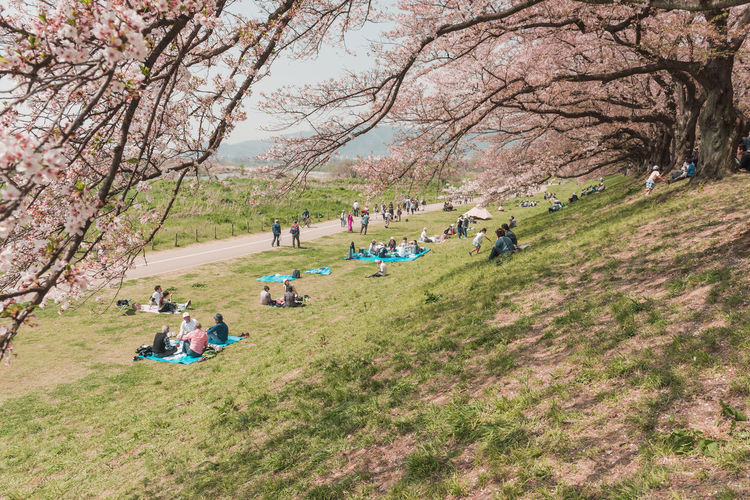 Kyoto, JAPAN - April 3, 2018: People enjoy seeing beautiful blooming cherry blossom at Yawatashi. Tree Group Of People Plant Leisure Activity Grass Real People Large Group Of People Beauty In Nature Lifestyles Day Nature Crowd Land Women Park Growth Men Field Environment Outdoors Springtime Cherry Tree Cherry Blossom Picnic Hanami Hanami Festival
