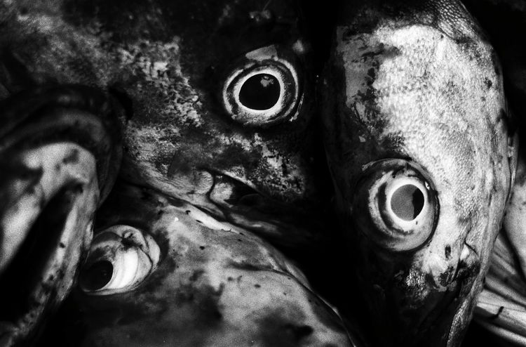 Torsk Fish Maximum Closeness Eye Eyes Close-up Black & White Blackandwhite Photography