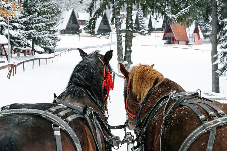 Horses Rear View Snow Covered Non-urban Scene Horse And Carriage No People Winter Landscape Horse Snow Winter Cold Temperature Tree Horse Cart Carriage Horsedrawn Pony Herbivorous Cart Working Animal