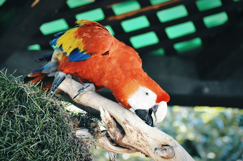Animal Themes Bird Parrot Focus On Foreground Close-up Indoors  Animals In The Wild Cage No People Perching Macaw Day Animals In The Wild Mammal Zoo One Animal EyeEm Animal Lover Nature Relaxation Animals In Captivity Outdoors Animals