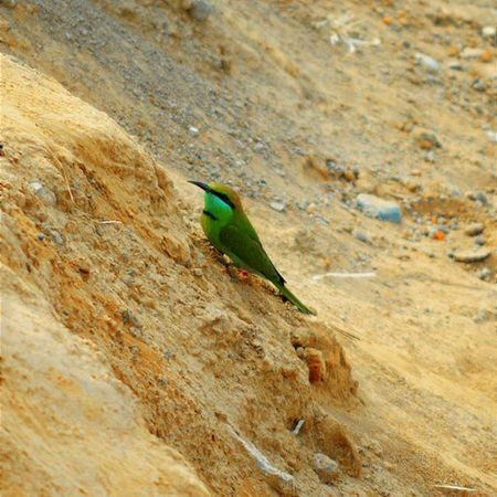 I'm getting to see this little birdie a lot these days. It is a Green Bee Eater and a really beautiful creature. 🐦 . . . Bird Birdlove Birdphotography Birdlife Birdsofinstagram Birdstagram Ig_shots Igersmood Instagram Instalike Instagood Instadaily Photographysouls Indianphotographyclub Thisismymuse MyShoeboxOfPhotographs Ig_select Natureshots Igs Igersindia Birdsofindia Photographyislove Birdwatching Birdie Sweet beautiful love nature nikon