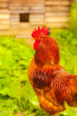 Une journée au Potager du Roi Animal Animal Head  Animal Themes Bird Chicken Chicken - Bird Close-up Day Domestic Domestic Animals Focus On Foreground Livestock Male Animal Mammal Nature No People One Animal Outdoors Pets Profile View Red Rooster Vertebrate