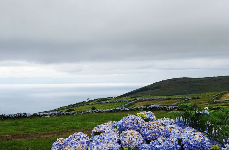 Hortensia Beauty In Nature Nature Tranquility Azores Flower Rural Scene Storm Cloud Agriculture Hill Sea Water Field Beach