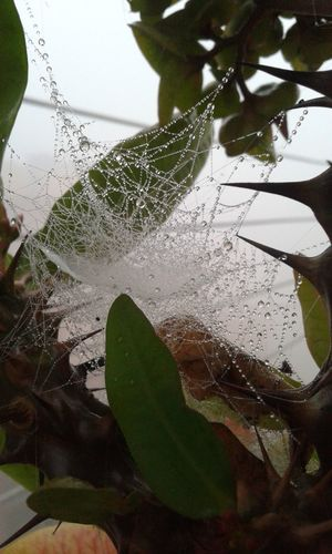 Web Dew Feather