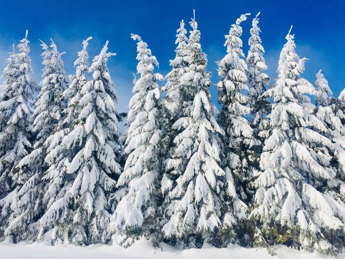 Conifers covered in snow on a bright sunny day Landscape Sky Blue Sky Nobody Sunny Needles Spruce Pine Conifer  Evergreen Trees Forest Cold Temperature Winter Snow Beauty In Nature Nature Day Tranquility Sky Weather Outdoors Tranquil Scene Scenics Low Angle View Blue Landscape Mountain