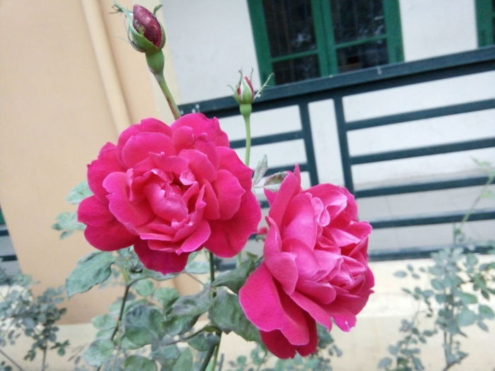 Hey. That is my school. Flower Roses🌹 My School 🌟 Freshness Pink Color Outdoors