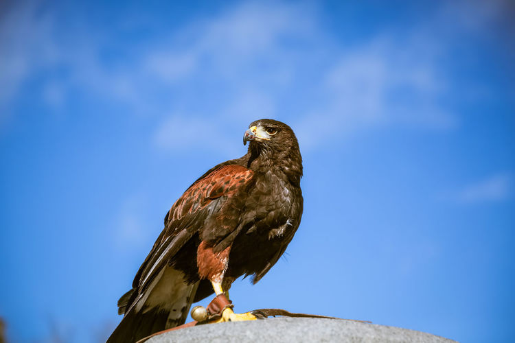 eagle in London Day Natural Light Bird Animal Themes Animal Animal Wildlife Bird Of Prey Eagle No People Outdoors London Europe Wildlife Blue Sky Urban Animals One Animal Perching Profile View Focus On Foreground Looking Away