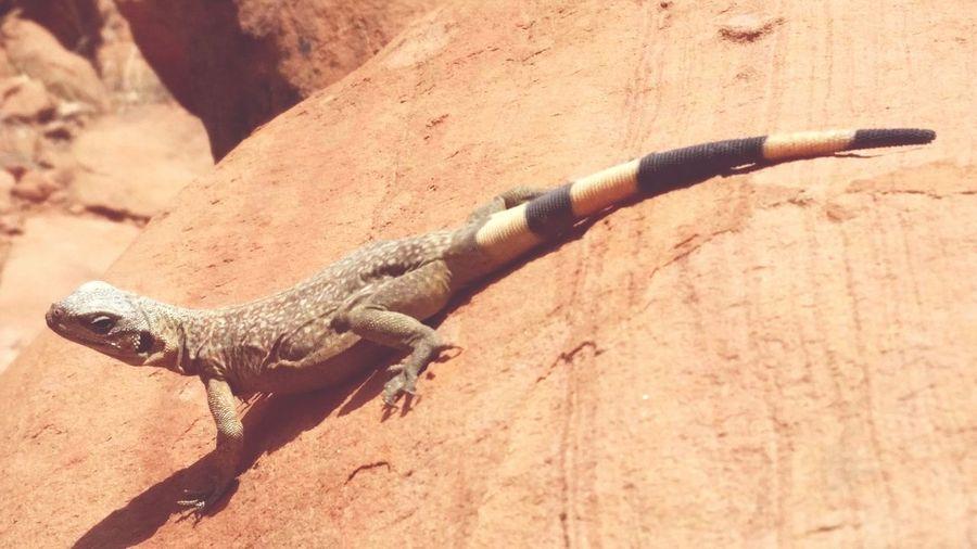 Lizard Desert Valley Of Fire Sandstone
