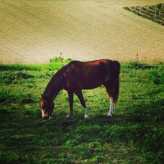 Cavallo Horse Animals Nature