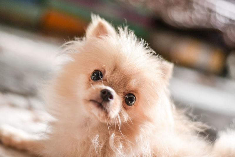 Light brown Pomeranian puppy looking to camera in marble floor room in bokeh background Mammal Domestic Pets Animal Themes Animal Domestic Animals One Animal Dog Canine Vertebrate Looking At Camera Portrait Pomeranian Close-up Focus On Foreground No People Cute Indoors  Animal Body Part Young Animal Small Animal Head  Shih Tzu Chihuahua - Dog Pomeranian Puppy Doggy Adorable Happy Bokeh Looking Light And Shadow Brown Fluffy Blurred Background