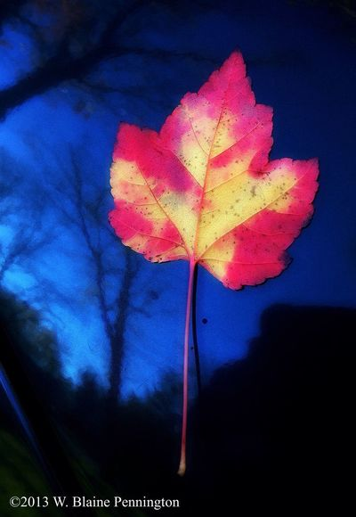 Wet leaves on car this morning, almost all down now. Wet Leaf Autumn Maple